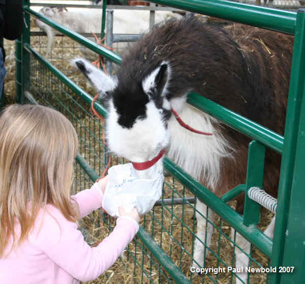 child feeding alpaca
